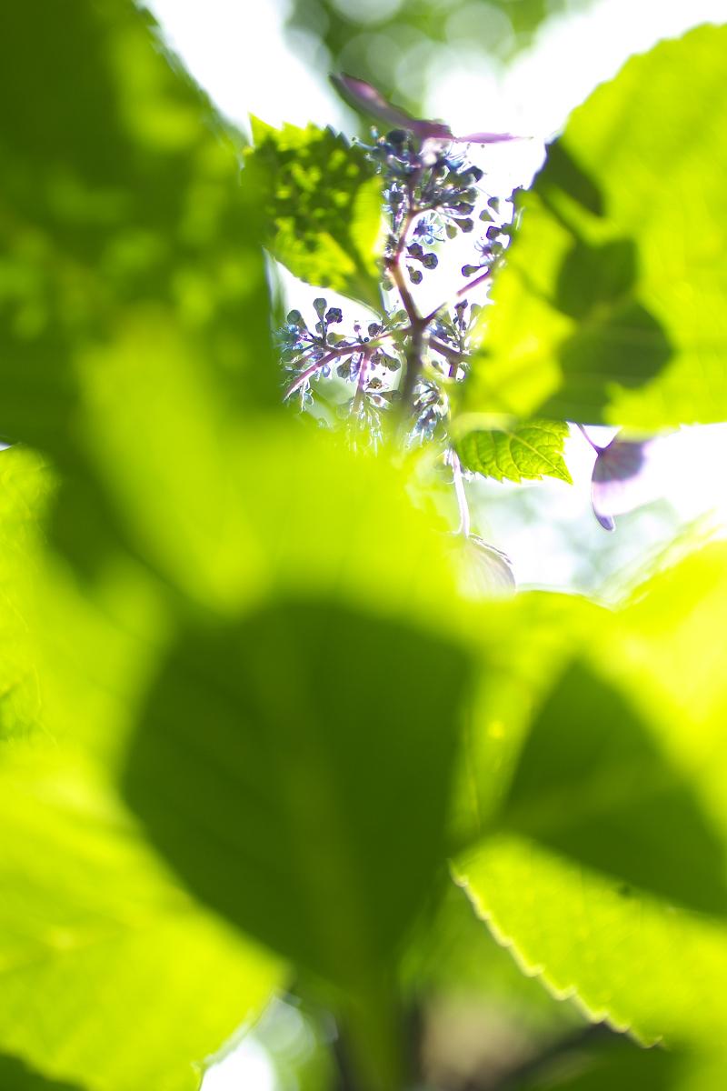 紫陽花 2013 <藤森神社>  _f0021869_21524446.jpg