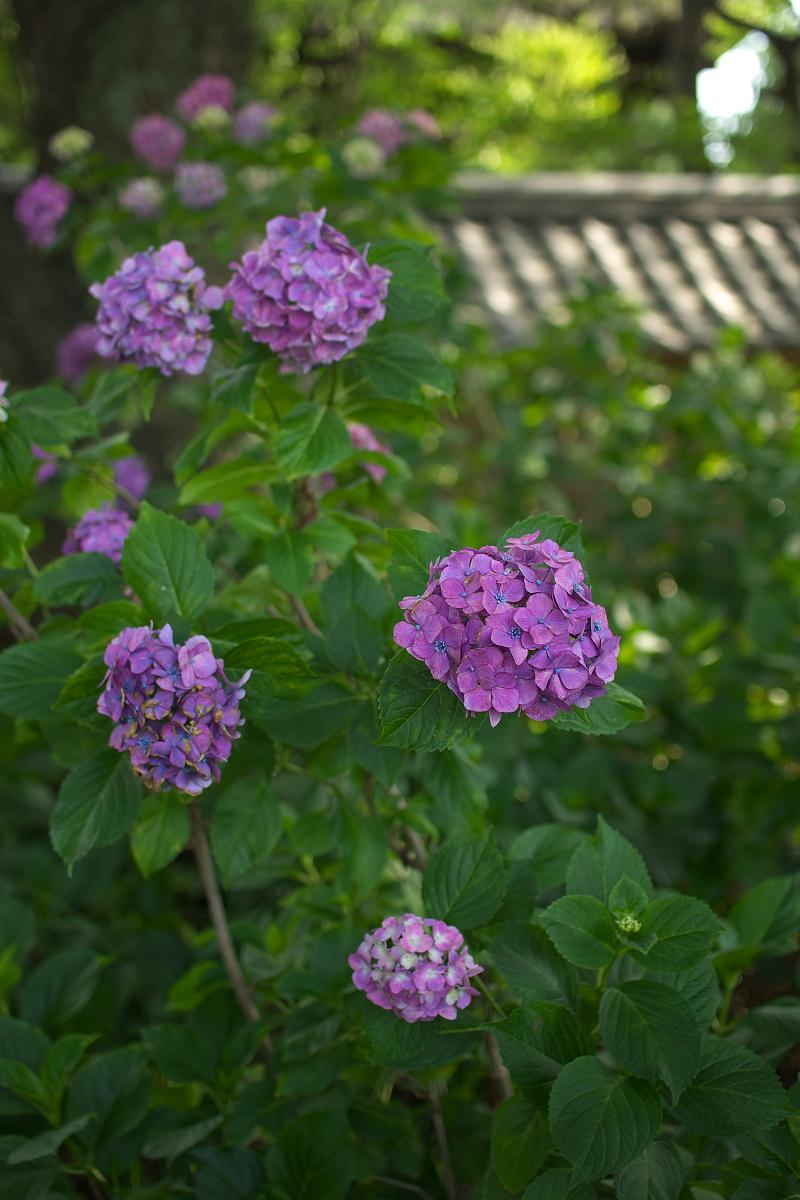 紫陽花 2013 <藤森神社>  _f0021869_21525368.jpg