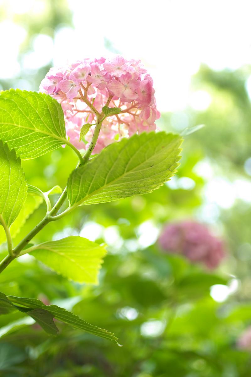 紫陽花 2013 <藤森神社>  _f0021869_21533165.jpg