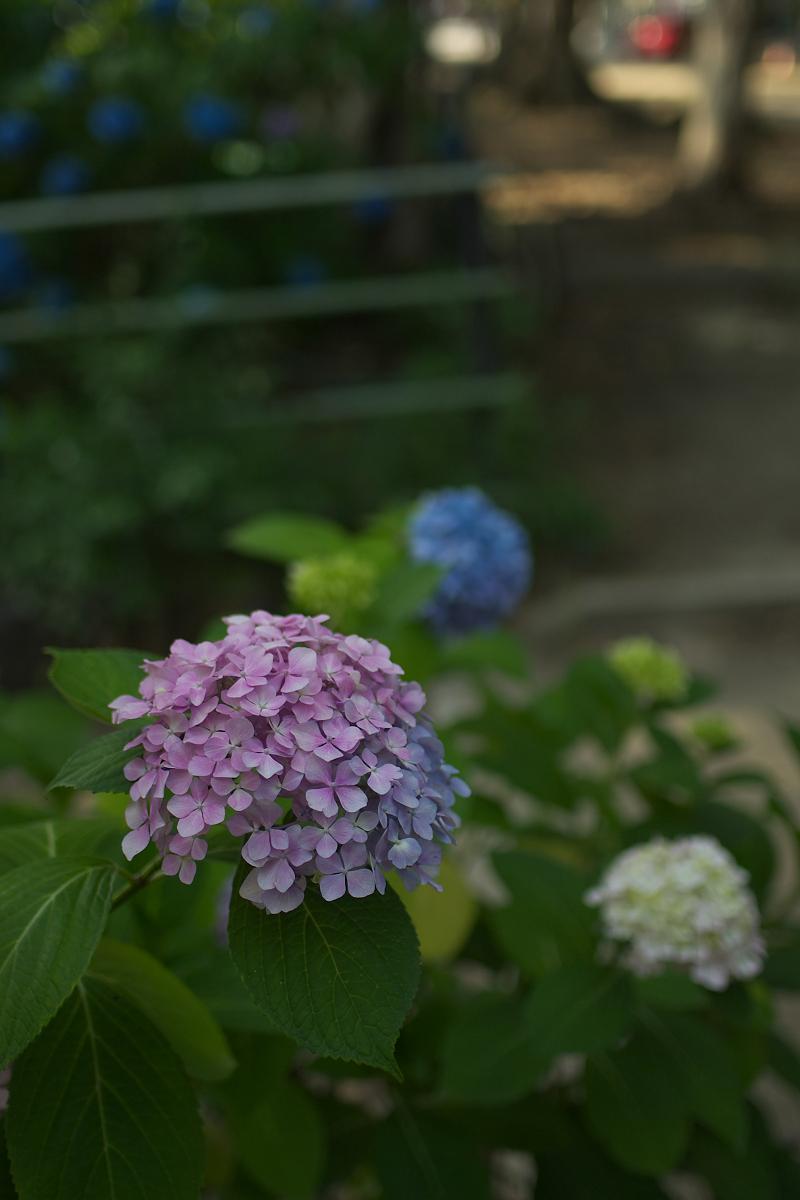 紫陽花 2013 <藤森神社>  _f0021869_21535037.jpg