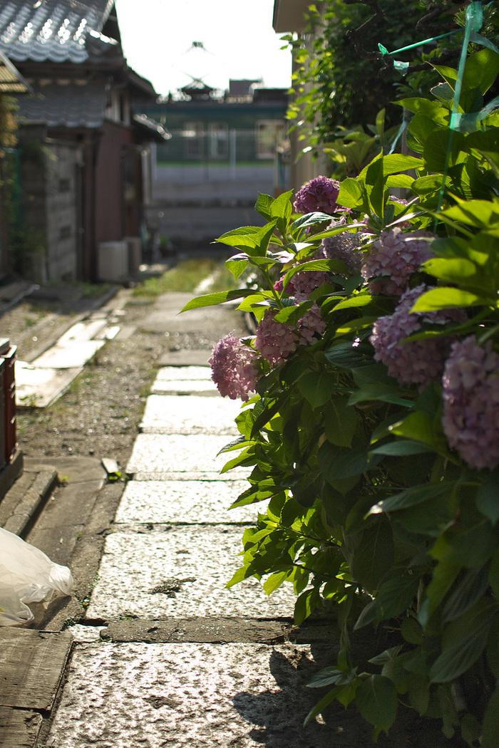 紫陽花 2013 <藤森神社>  _f0021869_21535963.jpg
