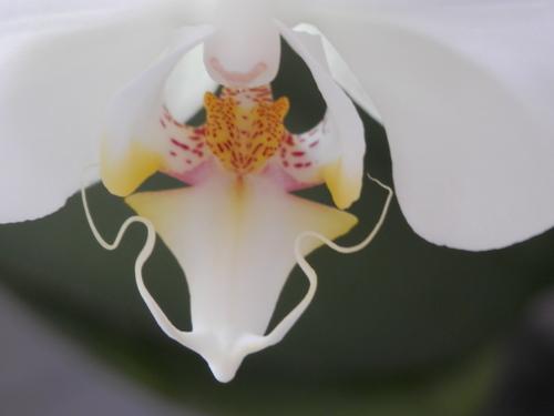 「蘭」咲きました。_a0125419_19221855.jpg