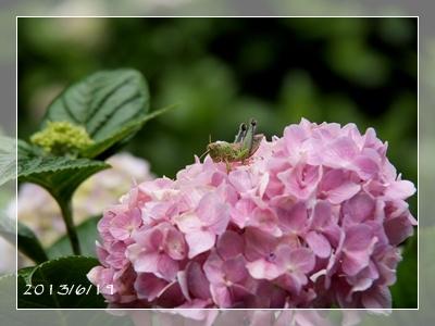 紫陽花には雨がよく似合ふ_c0026824_9391194.jpg