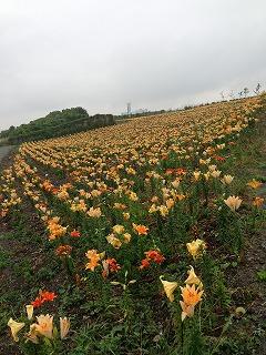 夏の花とアナベル_a0233896_18243812.jpg