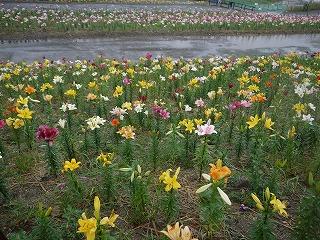 夏の花とアナベル_a0233896_18253674.jpg