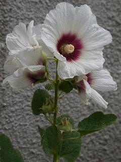 夏の花とアナベル_a0233896_20423068.jpg