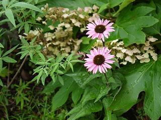 夏の花とアナベル_a0233896_20445380.jpg