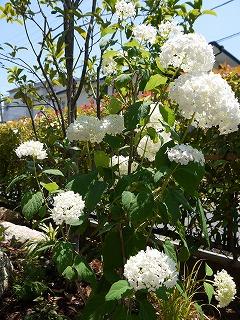 夏の花とアナベル_a0233896_22172170.jpg
