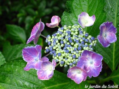 雨の似合う紫陽花・・・☆_c0098807_20321786.jpg