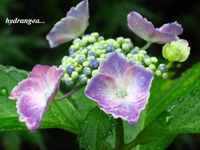 雨の似合う紫陽花・・・☆_c0098807_2036535.jpg