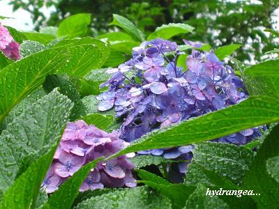雨の似合う紫陽花・・・☆_c0098807_20385978.jpg
