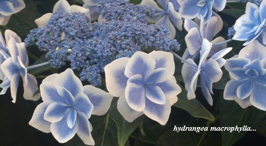 雨の似合う紫陽花・・・☆_c0098807_20452726.jpg