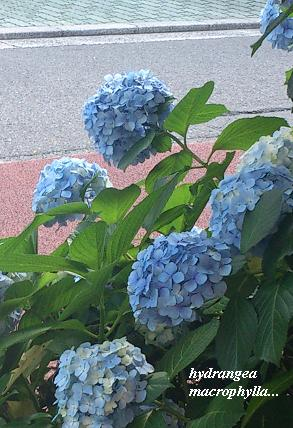 雨の似合う紫陽花・・・☆_c0098807_20461981.jpg