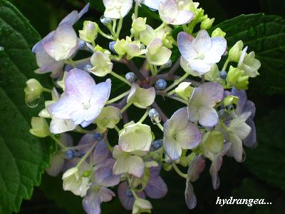 雨の似合う紫陽花・・・☆_c0098807_20485188.jpg