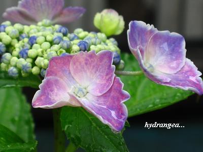 雨の似合う紫陽花・・・☆_c0098807_20541880.jpg