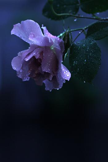 [猫的]雨薔薇_e0090124_2331610.jpg