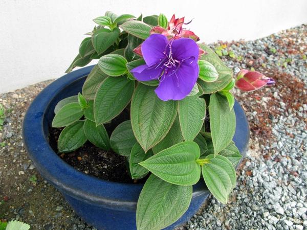 紫紺ノボタン_f0129726_21372860.jpg
