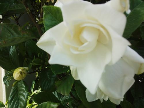 くちなしの花_e0246120_16201887.jpg
