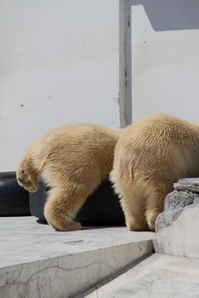 円山動物園 ホッキョクグマ記録66_a0016730_10411376.jpg