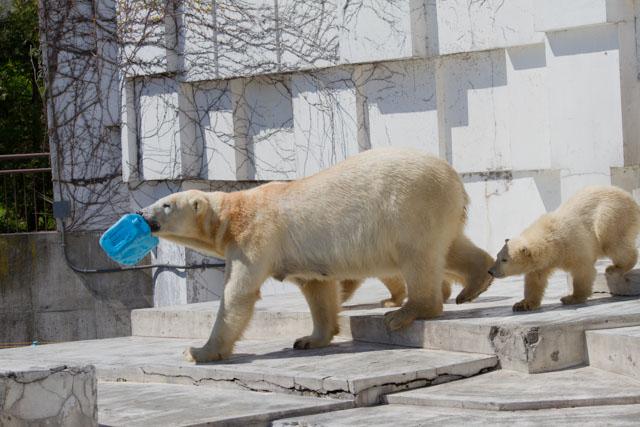 円山動物園 ホッキョクグマ記録67_a0016730_10465670.jpg