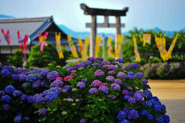 粟井神社の紫陽花      2013 0617_d0246136_1832131.jpg