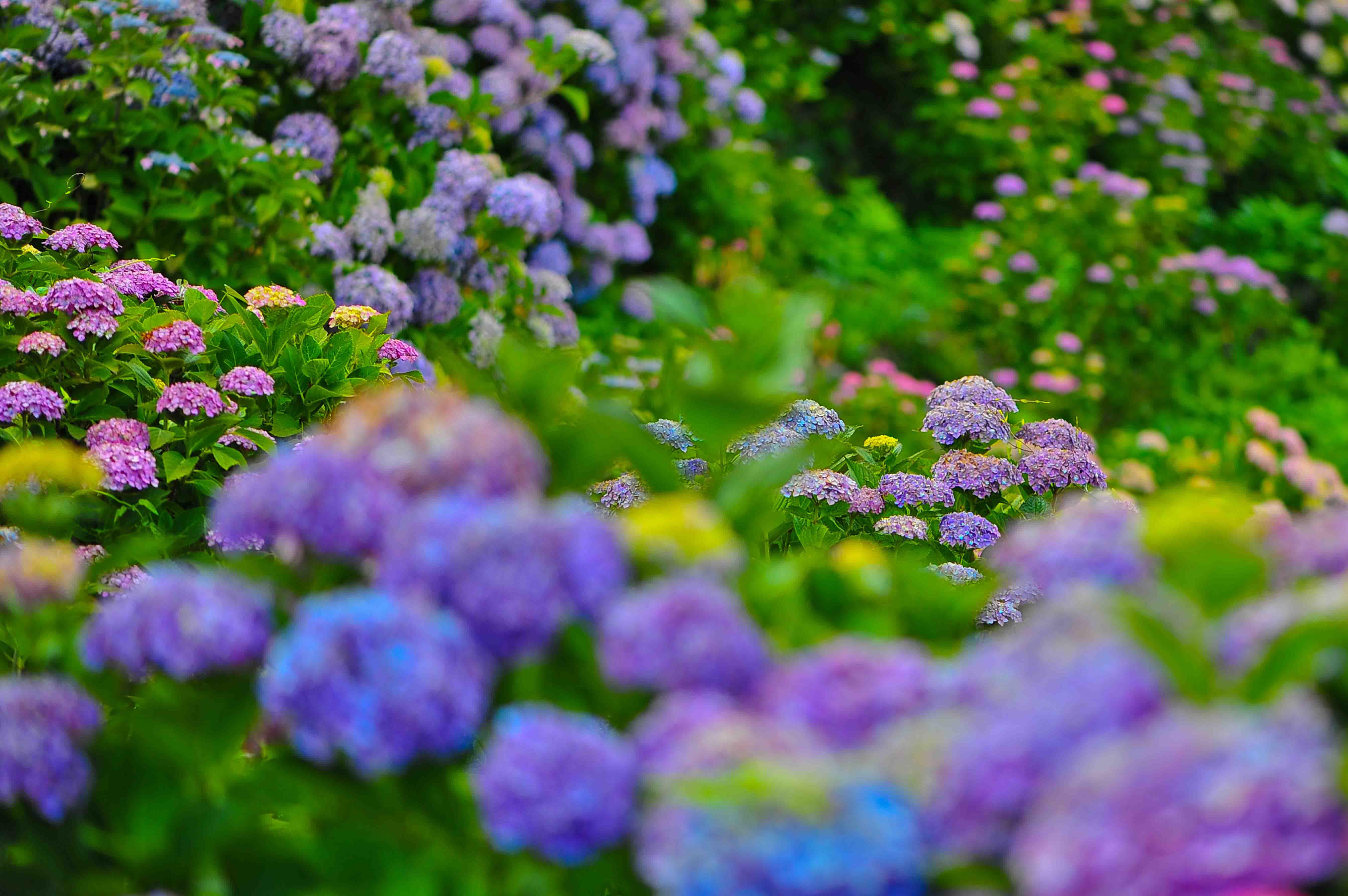 粟井神社の紫陽花      2013 0617_d0246136_18321321.jpg