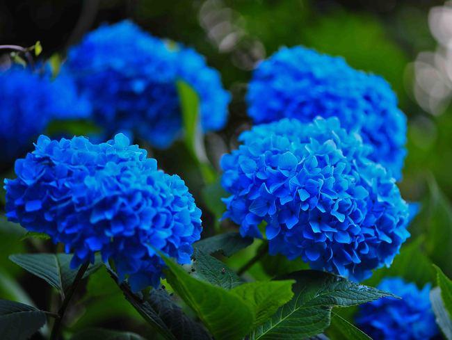 粟井神社の紫陽花      2013 0617_d0246136_18322452.jpg