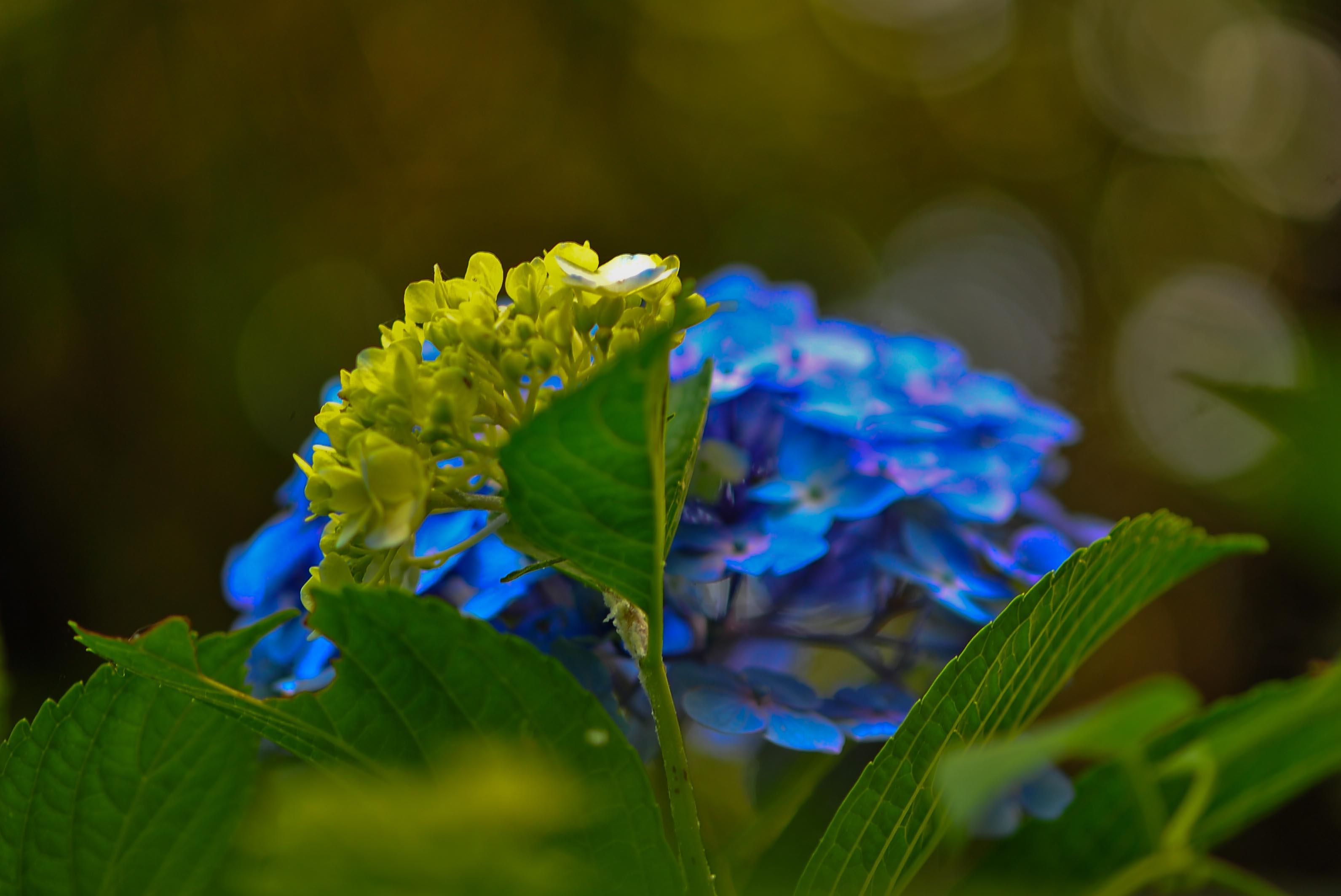 粟井神社の紫陽花      2013 0617_d0246136_18323796.jpg