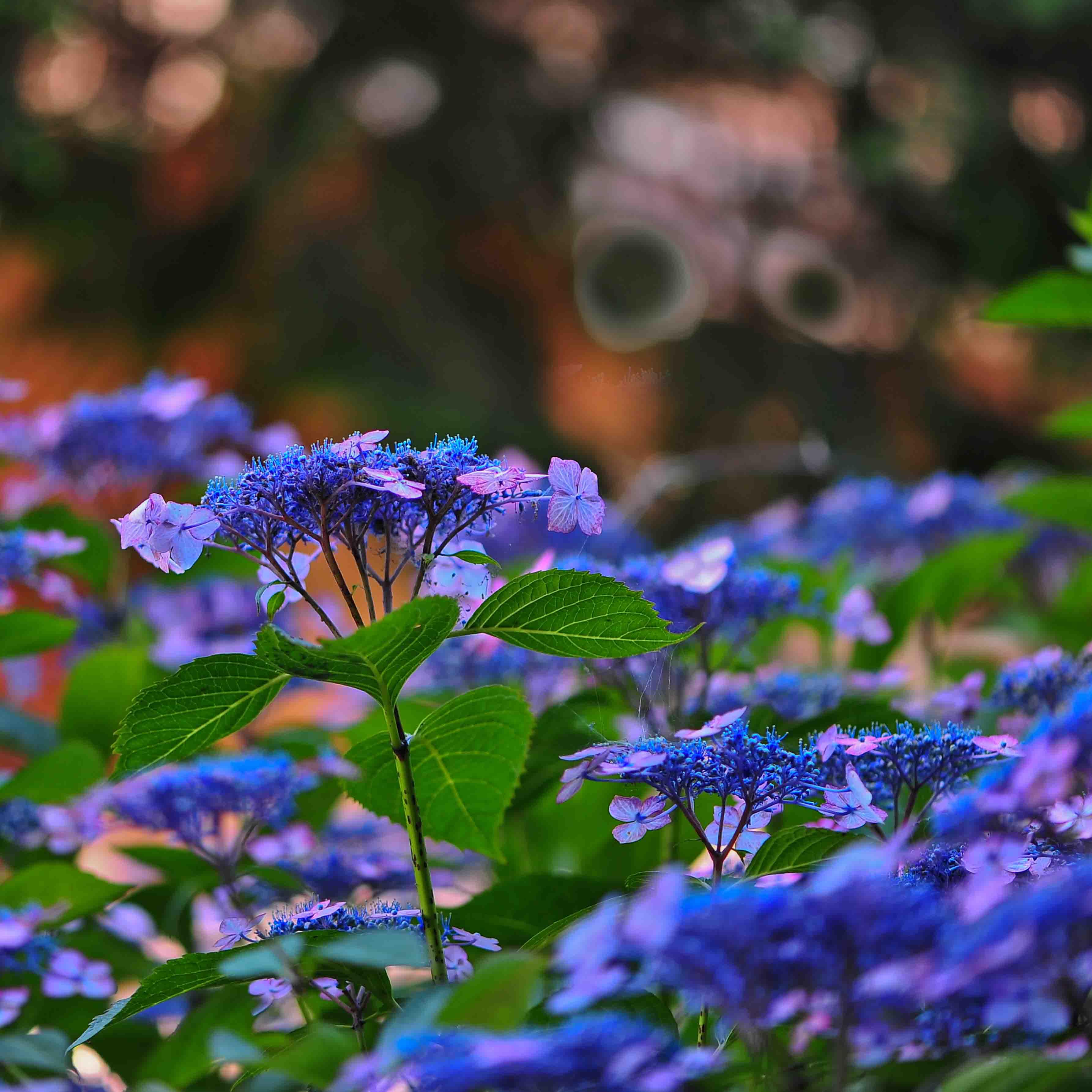 粟井神社の紫陽花      2013 0617_d0246136_183347.jpg
