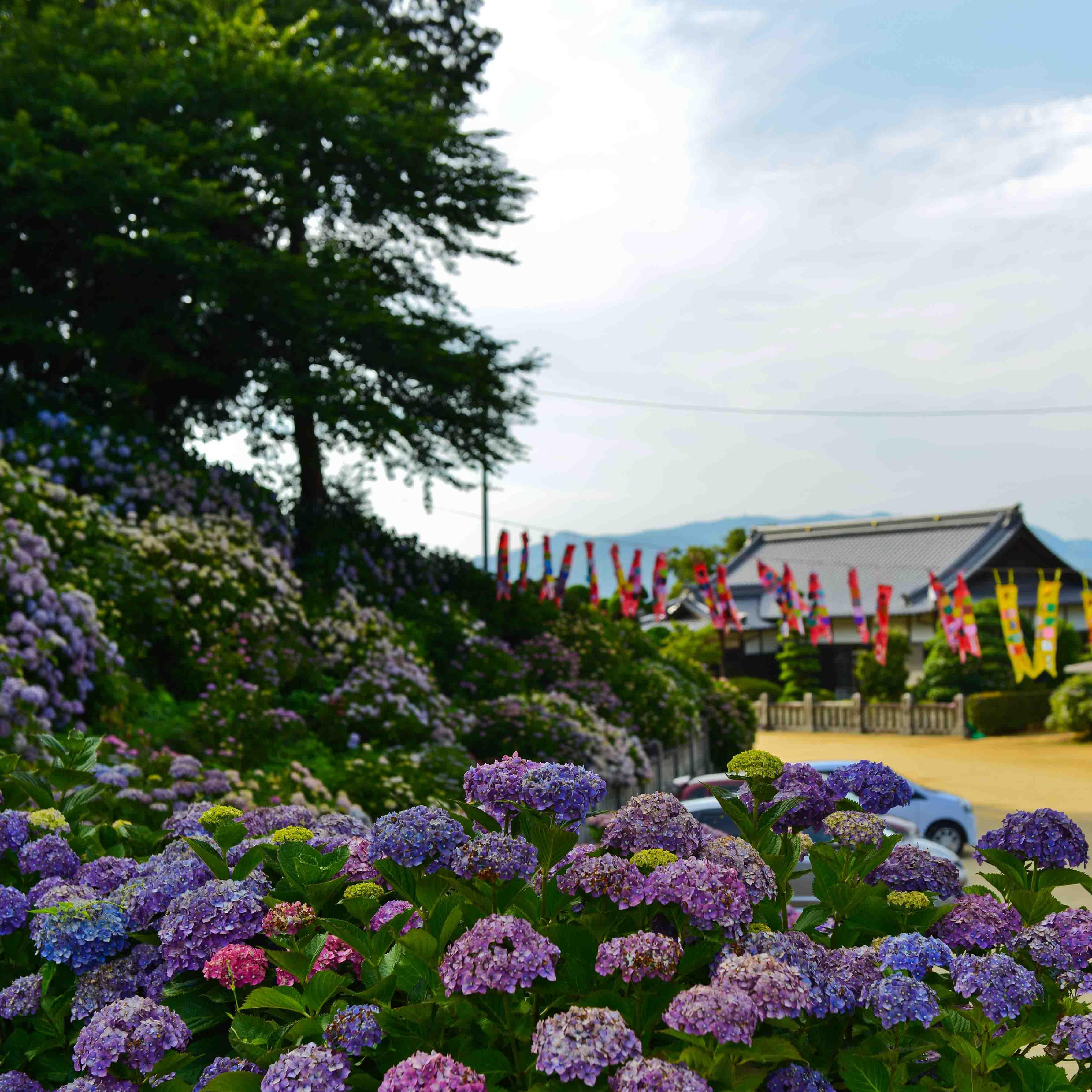 粟井神社の紫陽花      2013 0617_d0246136_18335755.jpg