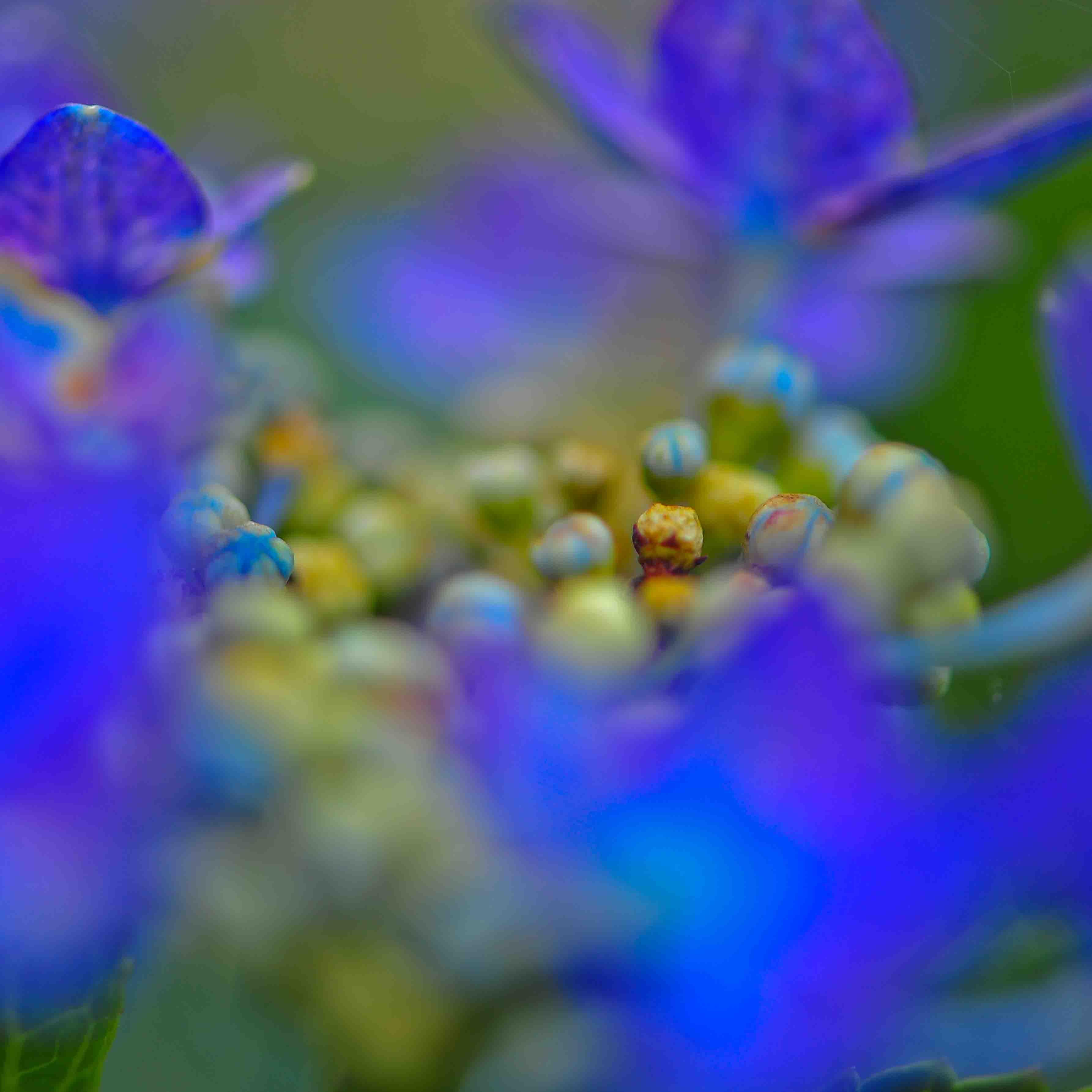 粟井神社の紫陽花      2013 0617_d0246136_18365185.jpg