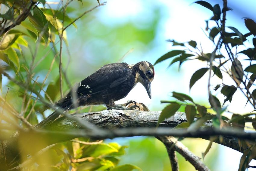 オーストンオオアカゲラ(White-backed Woodpecker)~2013.06_b0148352_15585245.jpg