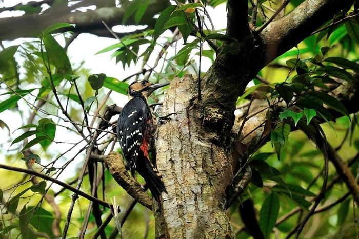 オーストンオオアカゲラ(White-backed Woodpecker)~2013.06_b0148352_15591921.jpg