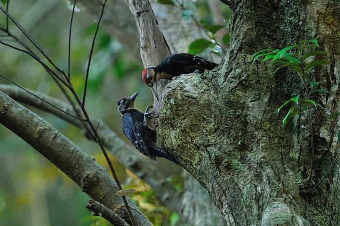 オーストンオオアカゲラ(White-backed Woodpecker)~2013.06_b0148352_16294323.jpg