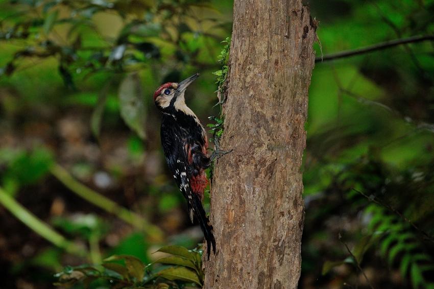 オーストンオオアカゲラ(White-backed Woodpecker)~2013.06_b0148352_1630840.jpg