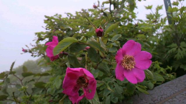 クサタチバナが花盛り。_c0089831_13341432.jpg
