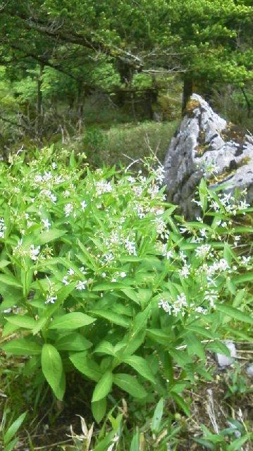 クサタチバナが花盛り。_c0089831_13341452.jpg