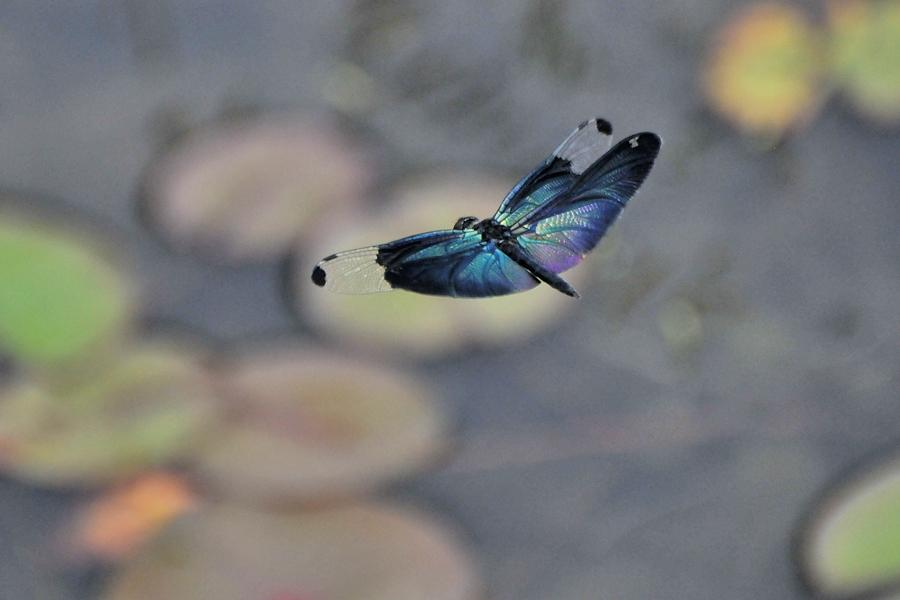 チョウトンボ飛翔(平池公園)_d0148541_19364667.jpg
