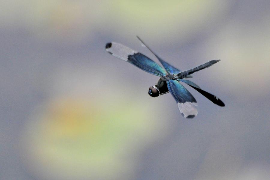 チョウトンボ飛翔(平池公園)_d0148541_1937044.jpg