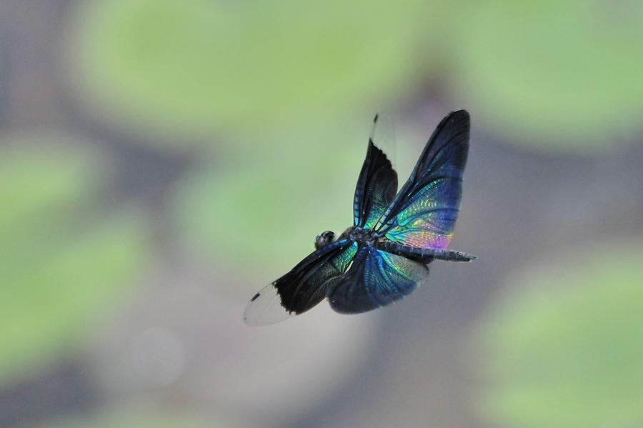 チョウトンボ飛翔(平池公園)_d0148541_19373714.jpg