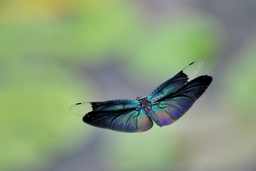 チョウトンボ飛翔(平池公園)_d0148541_19374559.jpg