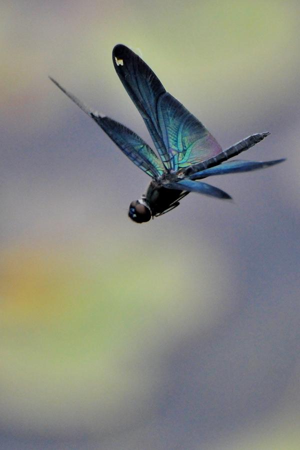 チョウトンボ飛翔(平池公園)_d0148541_1937514.jpg