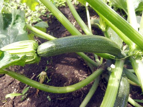 ズッキーニの初収穫です_c0053863_2331914.jpg