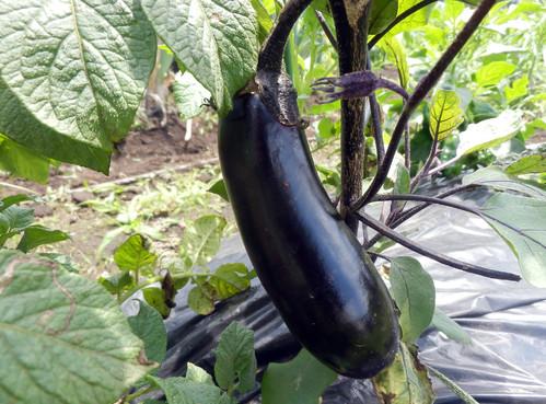 ズッキーニの初収穫です_c0053863_2341391.jpg