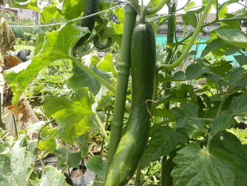 ズッキーニの初収穫です_c0053863_2363542.jpg