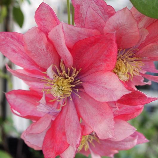 クレマチスの苗もお花が咲きだしました。_a0292194_21404016.jpg