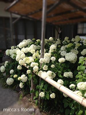 紫陽花を観に極楽寺と本勝寺へ_b0245038_7454187.jpg