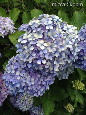 紫陽花を観に極楽寺と本勝寺へ_b0245038_7455877.jpg