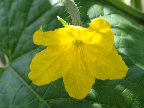 野菜の花_a0233551_21454964.jpg