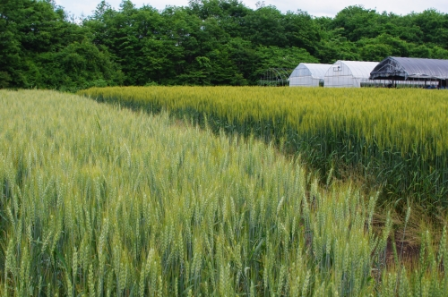 収穫1ヶ月前の小麦2013_c0110869_22124596.jpg